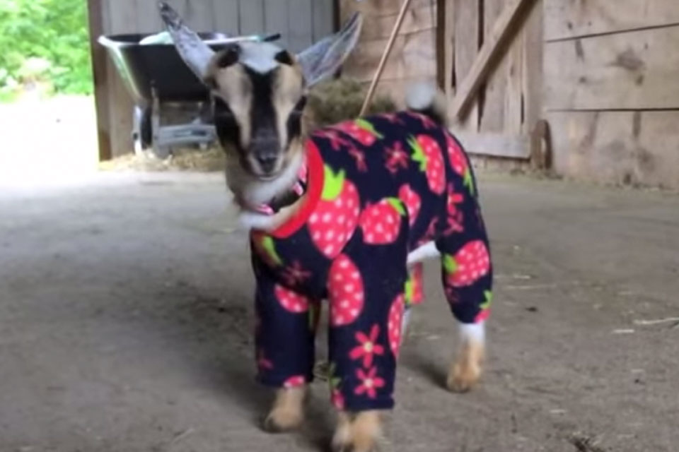 Baby Goats Wearing Pajamas Watch The Adorable Video
